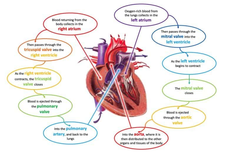 Drawing of heart and its function